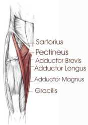 hip adductors