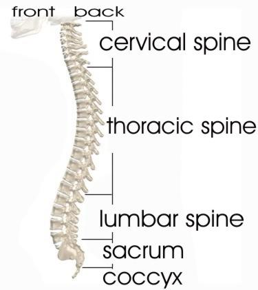 back stretch - spine anatomy