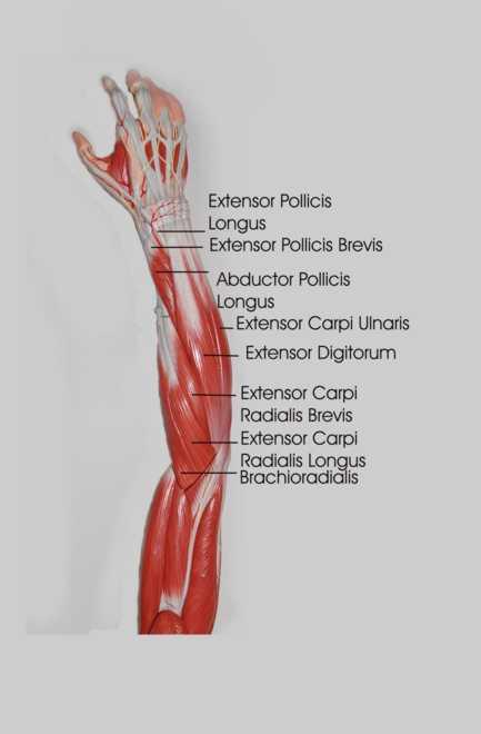 forearm anatomy posteriorly