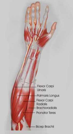 forearm anatomy anteriorly
