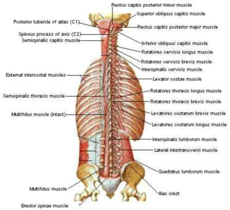 back stretch - muscles