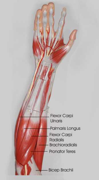Forearm Stretches - What you need to know to prevent injuries.