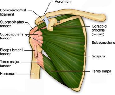 shoulder stretches anatomy